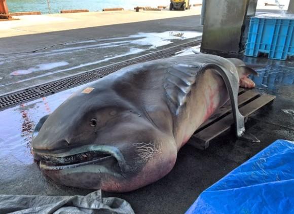 【さかな】謎のサメ「メガマウス」、インドネシアで撮影される コモド島沖